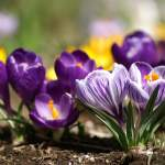 6915007-spring-flowers-from-the-garden
