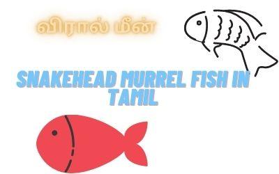 Snakehead Murrel Fish In Tamil