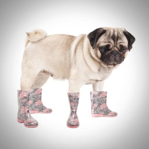 Pug dog image by Monica Click (via Shutterstock).