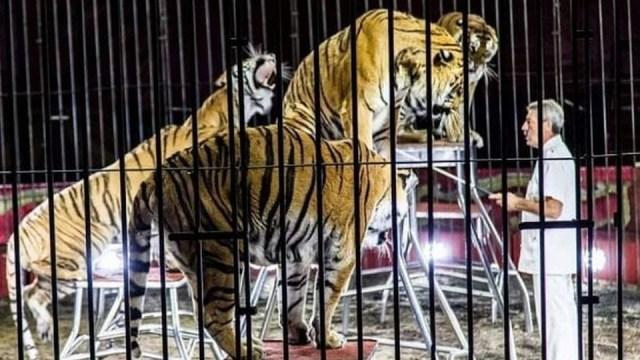 Italija: Tigrovi u cirkusu na smrt izujedali ukrotitelja