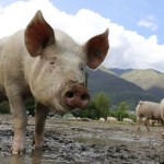 Ministarstvo poljoprivrede: U Srbiji se pojavila afrička kuga svinja