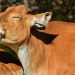 Srpski stočari probali da Turcima poture govedinu kao junetinu?