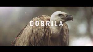 Uginula Dobrila, ženka beloglavog supa iz Specijalnog rezervata Uvac (VIDEO)