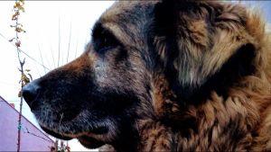 """Psi identifikuju """"miris korone"""" jednako pouzdano kao standardni PCR tekstovi"""