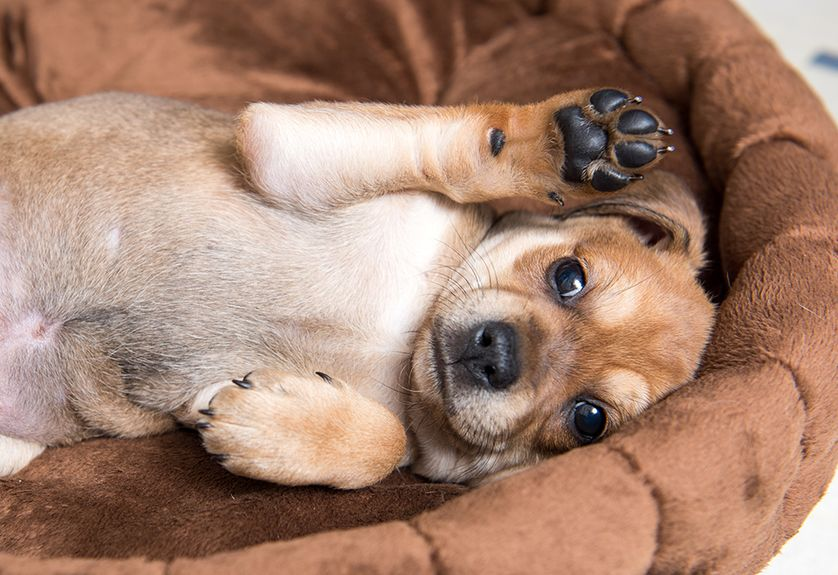 Dog paws are known to smell like corn chips.
