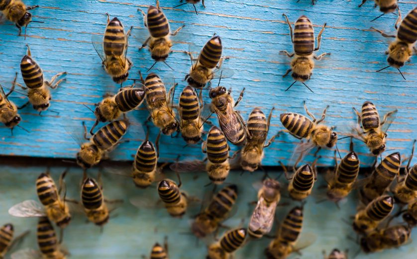 If you alarm a honey bee, you might get a whiff of bananas - and the attention of more bees.