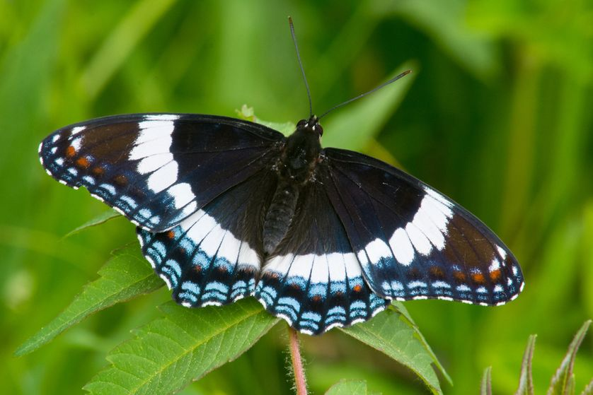 The white admiral has a wintergreen scent which you'll smell when the butterfly, well, poops on you.