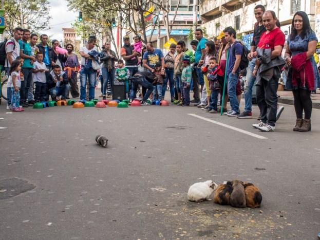 Zabawa ze świnkami morskimi, podróż po Bogocie