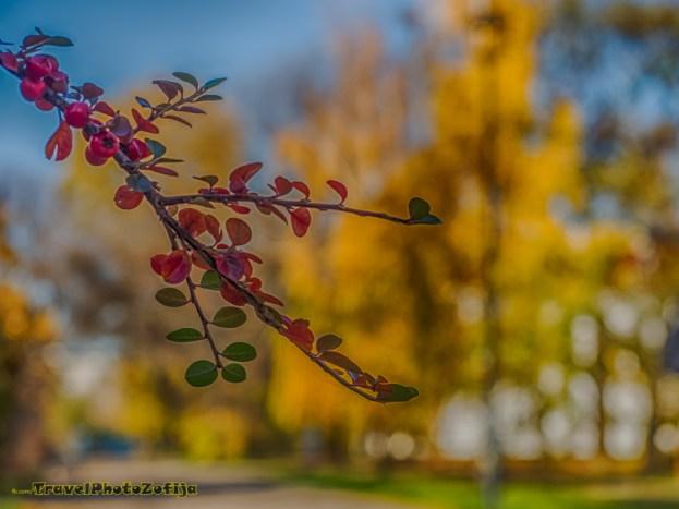 Jesienna gałązka z z czerwonymi owocami, w tle żółte drzewa