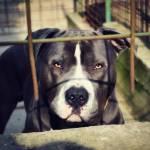 Crackdown on Breeding of Dangerous Dogs