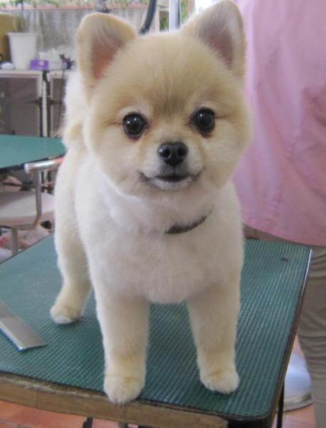 Cut Puppy Pomeranians Grooming