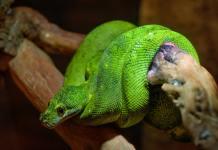 Snake Island Representation