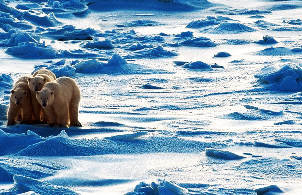 polar-ice-cap-shelf-has-increased-43-percent-since--2012-al-gore-liar-climate-change-global-warming-hoax-polar-bears