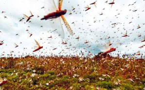 """""""Like Something Out Of The Book Of Exodus"""": Locust Armies Are Devouring Entire Farms In Kenya """"In As Little As 30 Seconds"""""""