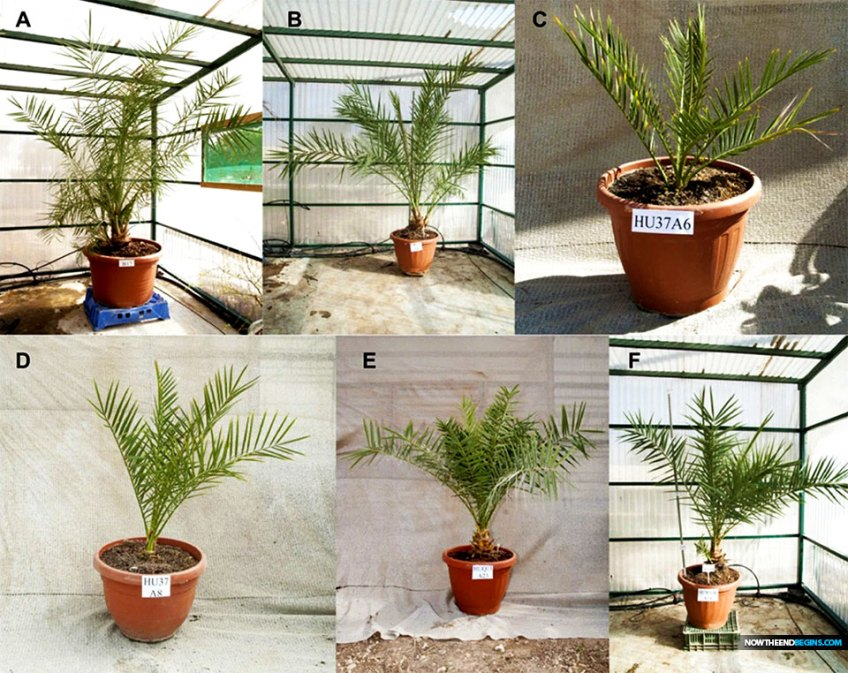 Scientists Grow Date Palm Trees From 2,000-Year-Old Seeds