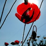 3rd Place Plant Life - Red Poppy in Greece by Jan Landis