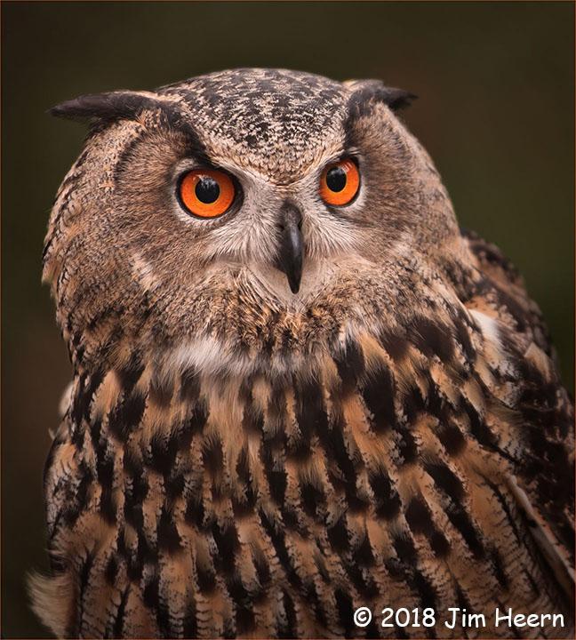 1st Place Wildlife - Eurasian Owl by Jim Heern