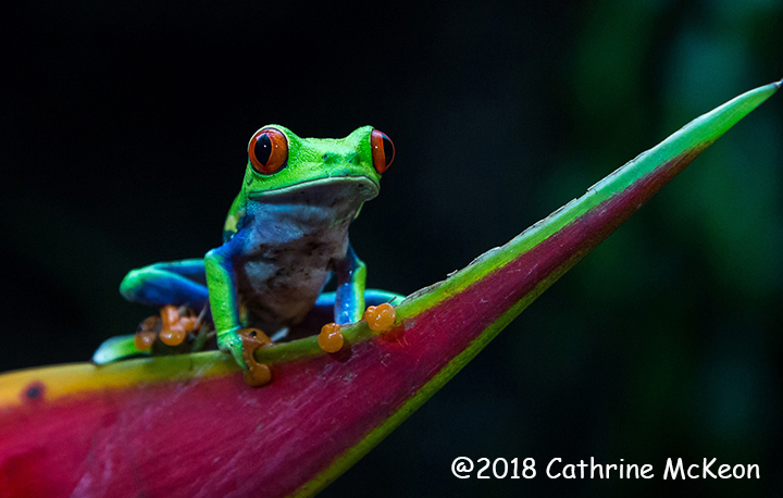 1st Place Wildlife - Tree Frog by Cathrine McKeon