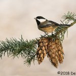 2nd Place Wildlife - Black-capped Chickadee by Dennis Plank