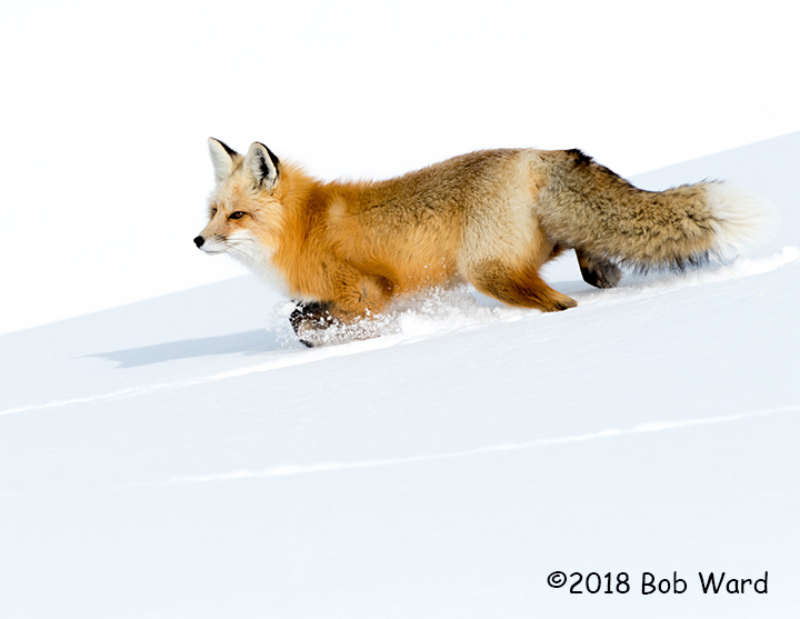 3rd Place Wildlife - Foxtrot by Bob Ward
