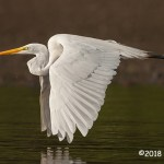 HM Wildlife - Great Egret Great Form by Katie Rupp