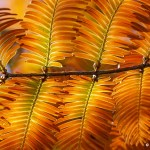 1st Place Plant Life - Dawn Redwood by Jim Baggett