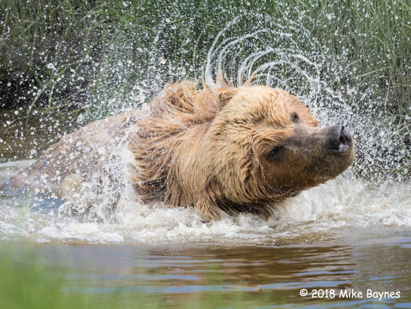 1st Place Wildlife - Shake it Off by Mike Baynes