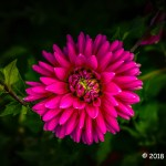 2nd Place Plant Life - Dahlia Awakening by John Adam