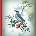 2nd Place Wildlife - Cedar Waxwing by Stephanie Hazen