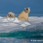 2nd Place Wildlife - Nunavut Polar Bears by Albert Ryckman
