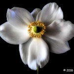 3rd Place Plant Life - White Anemone by Sil Malalan