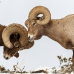 HM Wildlife - Bighorn Sheep by Andrew Lee