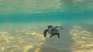 Photo of Λιμνοθάλασσας Μεσολογγίου: Άρχισε η καταγραφή της ωοτοκίας της θαλάσσιας χελώνας Caretta caretta