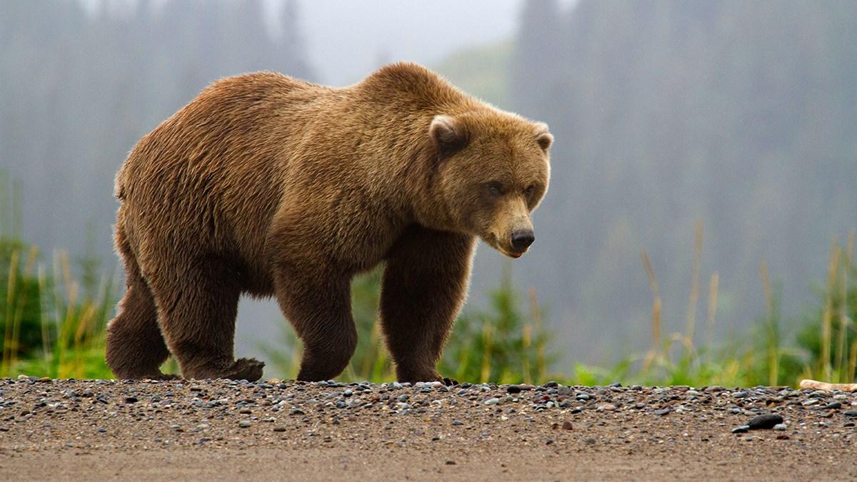 when bears prepare for