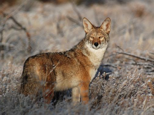 Coyotes  Bandelier National Monument US National Park