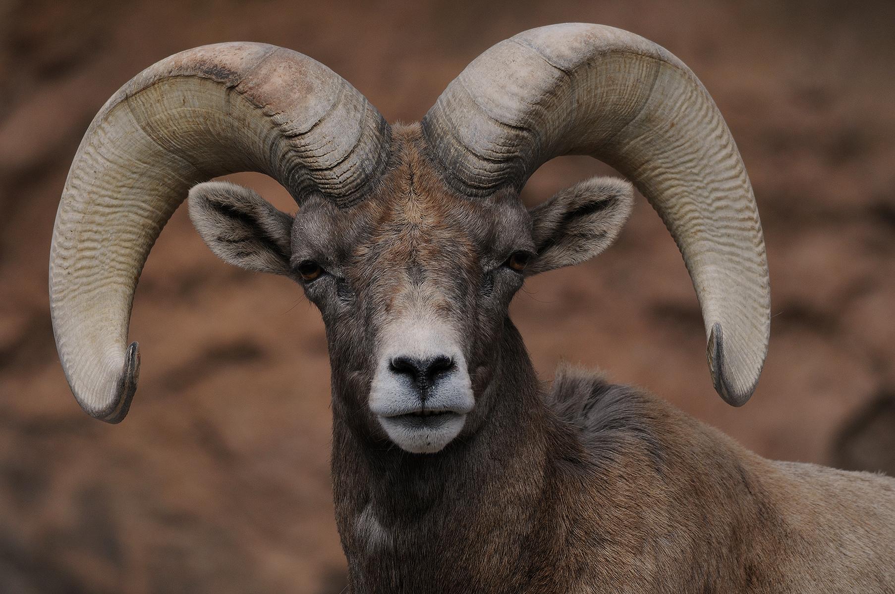 Bighorned Sheep  Bandelier National Monument US
