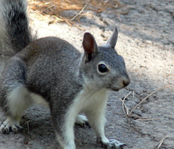 Aberts Squirrel  Bandelier National Monument US