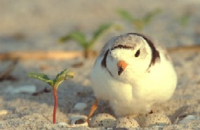 A piping plover incubating a nest.