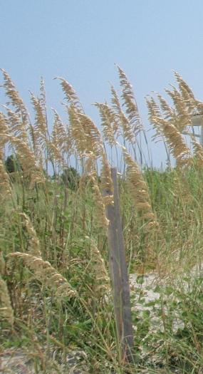 Plants  Cape Lookout National Seashore US National