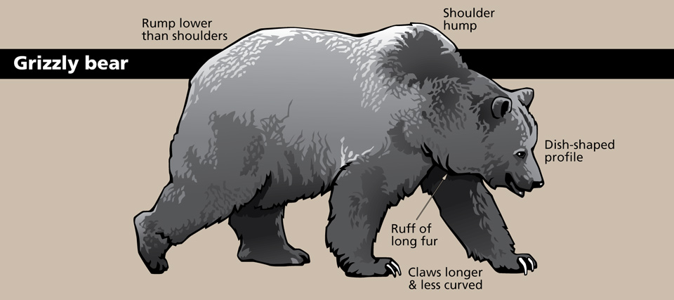 Characteristics of Bears in Yellowstone (US National