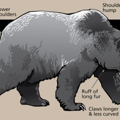 Black Bear Diagram 2016 Dodge Journey Radio Wiring Characteristics Of Bears In Yellowstone U S National Park Service A Grizzly With Various Body Parts And Shapes Identified