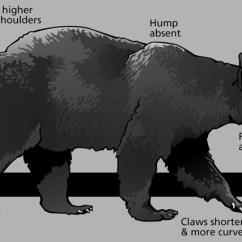 Black Bear Diagram Dayton Capacitor Start Motor Wiring Characteristics Of Bears In Yellowstone U S National Park Service A With Various Body Parts And Shapes Identified