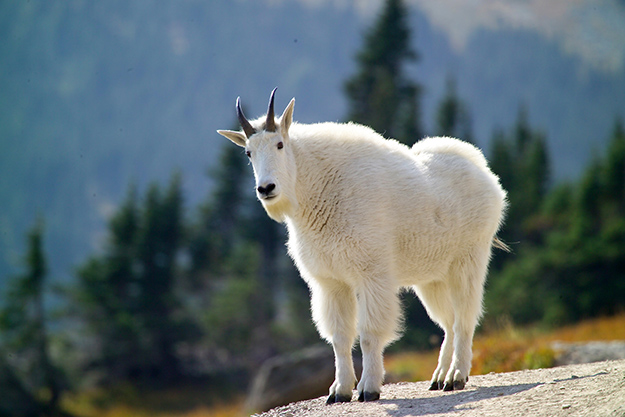 mountain goat resource brief