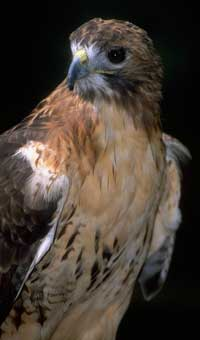 Red-tailed hawk (NPS photo).