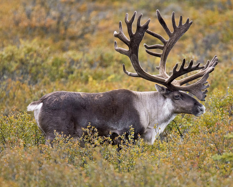 Elk Compared Size Moose