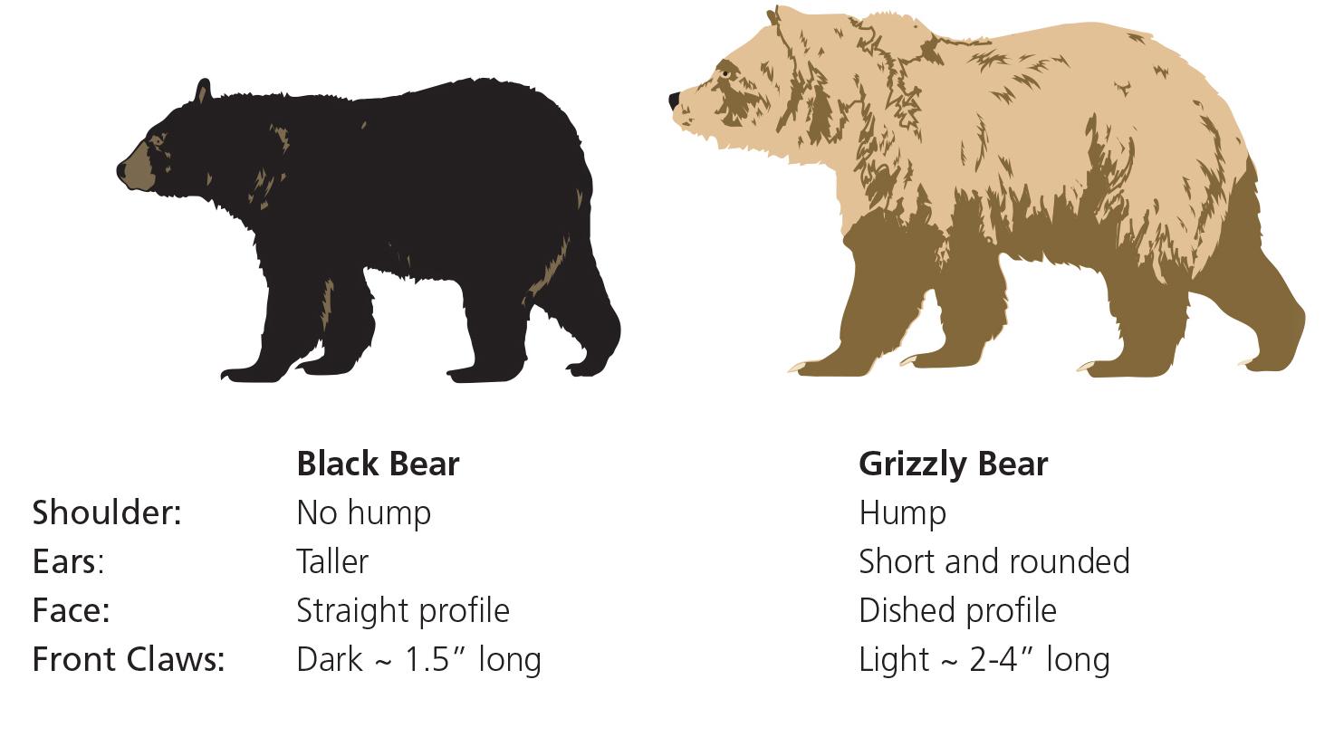 Bears  Glacier National Park US National Park Service