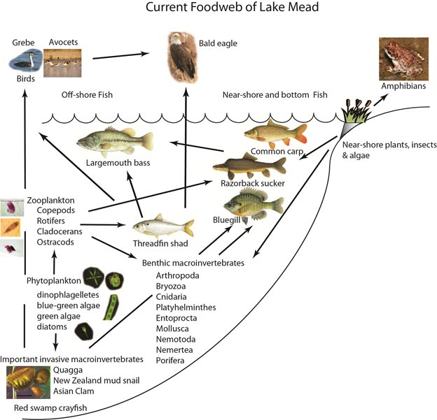 taiga food web diagram pioneer deh 2200ub wiring 2 peregrine falcon great installation of webs lake mead national recreation area u s park rh nps gov hunting