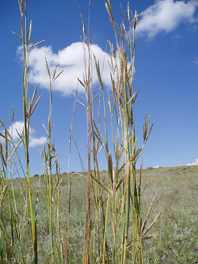 Big Bluestem is the king of tallgrass, and a surprising number of people have actually heard of it.