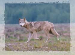 Twelve years since the lookout pack was first confirmed, there are no known packs in western washington. Wolf Sightings And Distribution North Cascades National Park U S National Park Service