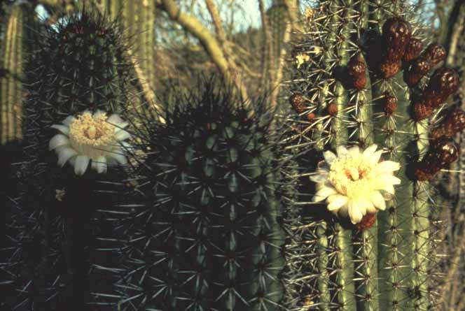 Organ Pipe Cactus  Organ Pipe Cactus National Monument U